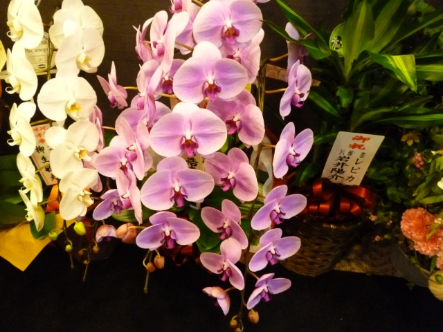 大阪の胡蝶蘭